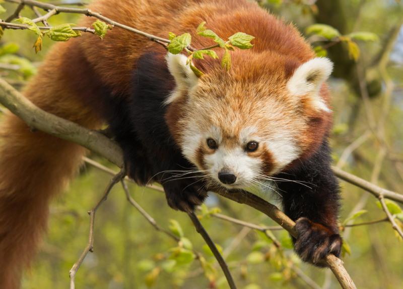 blijdorp azie - rode panda