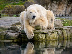 blijdorp diergaarde - ijsbeer